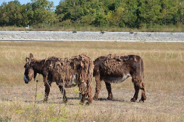Donkeys of St Martin de Ré