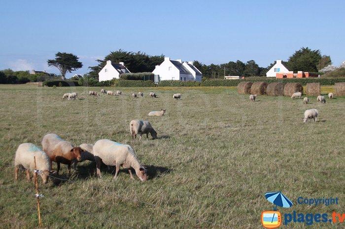 Cattles in Belle Ile en Mer