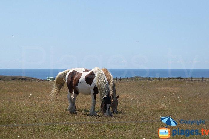 Horses in Belle Ile