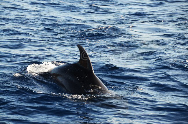 Dolphin in the Reserve of Scandola