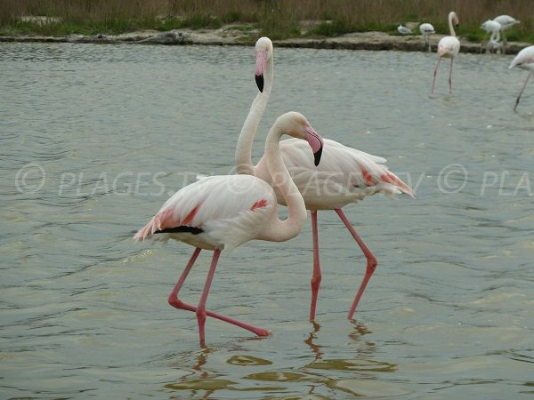 Pink flamingos in Camargue ponds