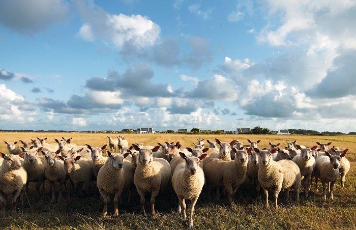 Moutons à Belle Ile