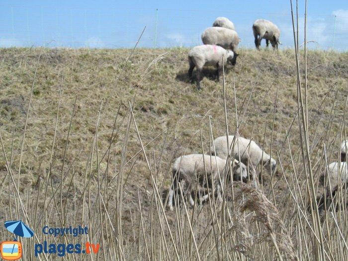 Moutons le long de la digue de la Baie de la Canche