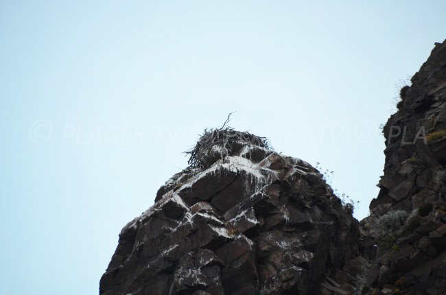 Nest of Balbuzard in Scandola