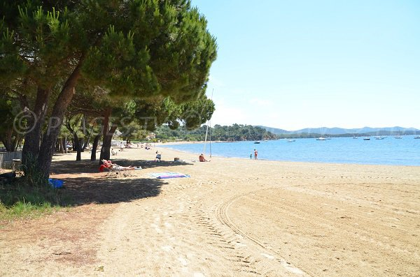 Pine trees on the Argentière beach in la Londe Les Maures
