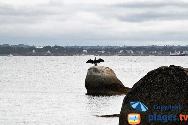 cormorans à Fouesnant