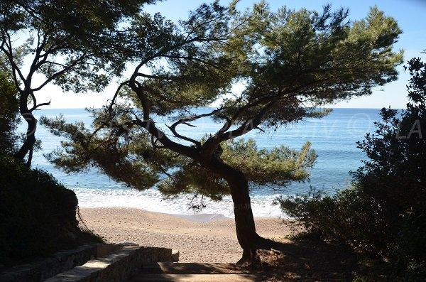 Pins sur la plage de Monaco - Le Pradet