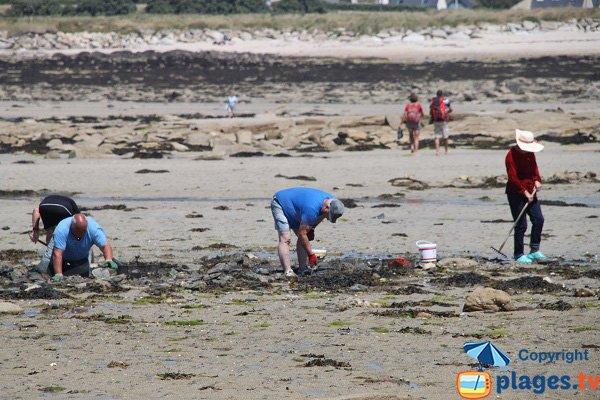Pêche à pied sur l'ile Grande de Pleumeur Bodou