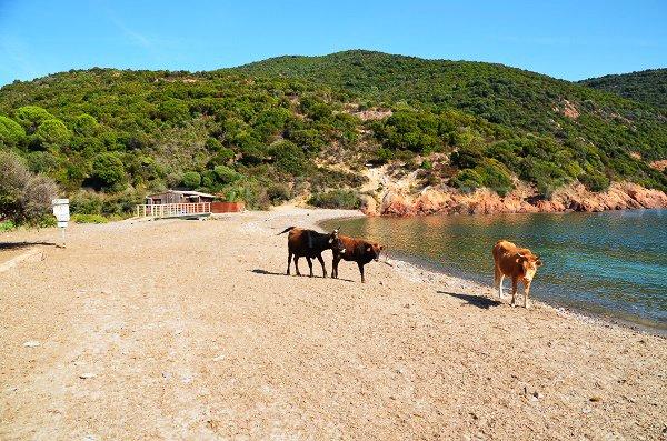 Vaches sur la plage de Focaghia en Corse