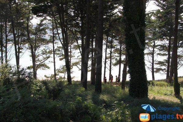 Pins à proximité des thermes d'Hogolo - Plestin