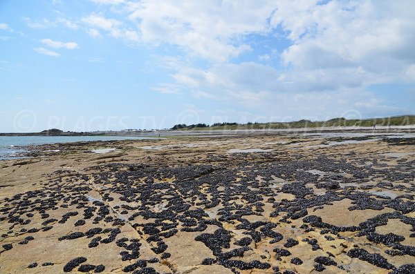 Mussels on the beach of Quiberon