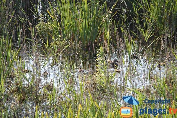 Canards dans la réserve de Trunvel-Tréogat