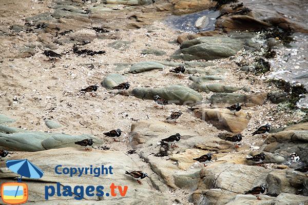 Oiseaux marins sur la plage de Damgan