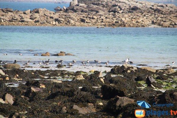 Oiseaux marins à Santec