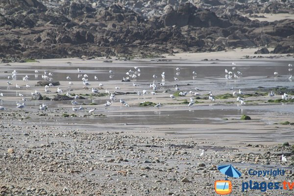 Oiseaux sur le plage du Moulin de Locquirec - Bretagne