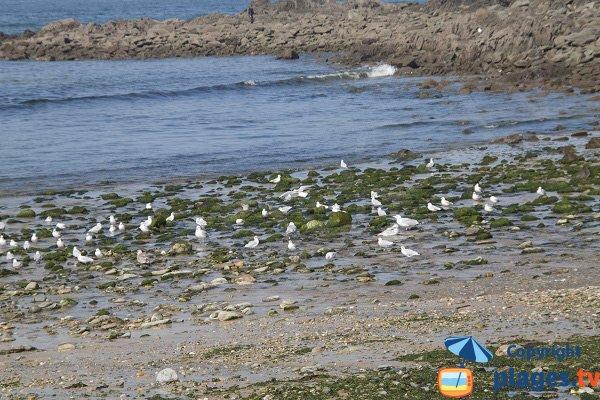 Algues vertes sur la plage du Moulin de la Rive