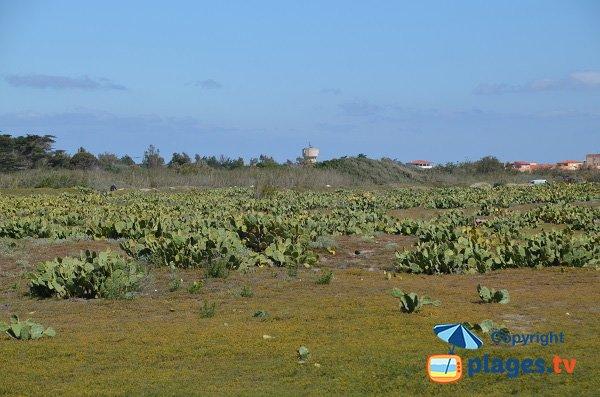 Végétation autour de la plage de Torreilles