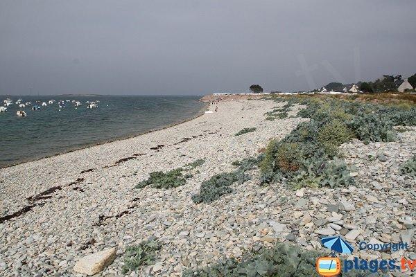 Choux de mer sur la plage de Port l'Epine