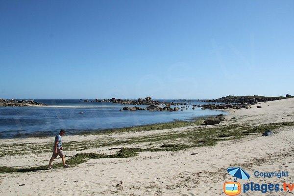Algues vertes sur la plage de Poulfoën à Plouescat