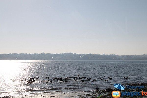 Oiseaux à St Pol de Léon - niveau Penzé