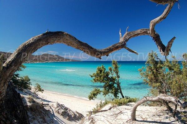 Arbres sur la plage de Saleccia