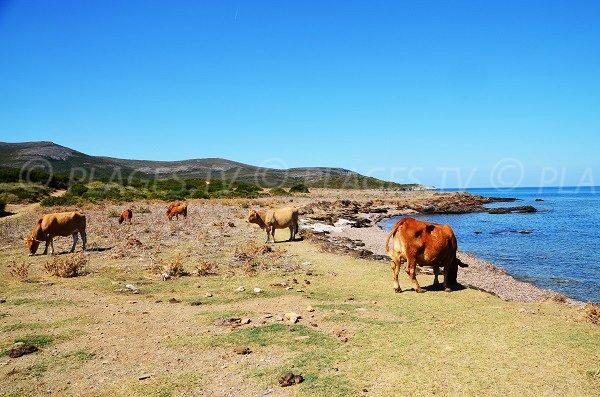 Spiaggia con mucche Macinaggio - Corsica
