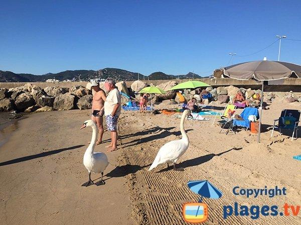 Cygnes sur la plage de Cannes la Bocca