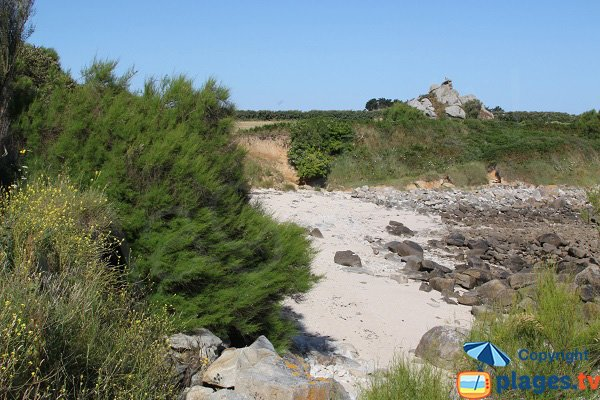 Tamaris sur le littoral de Cléder