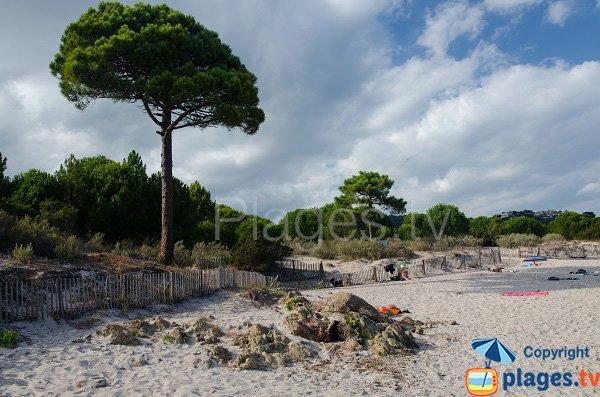 Pin parasol de la plage de Fautea