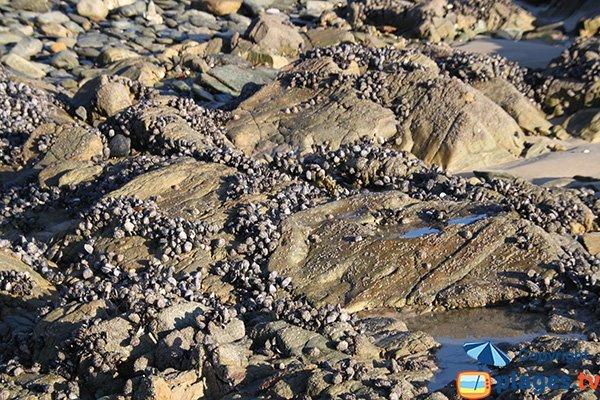 Moules sauvages sur la plage de Locquirec