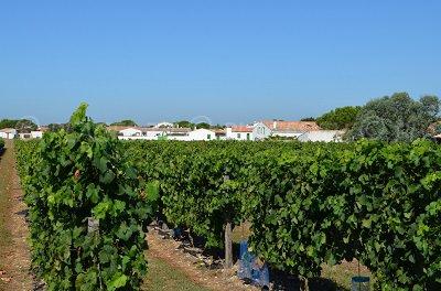 Vineyards in Sainte Marie de Re in France