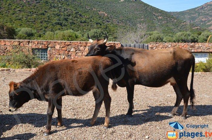 Cows on the beach of Girolata - Corsica