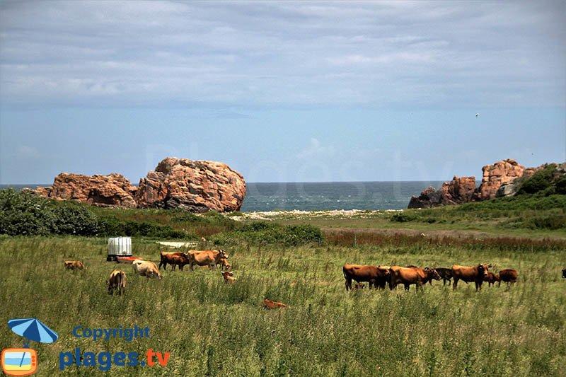 Vaches sur l'ile de Bréhat