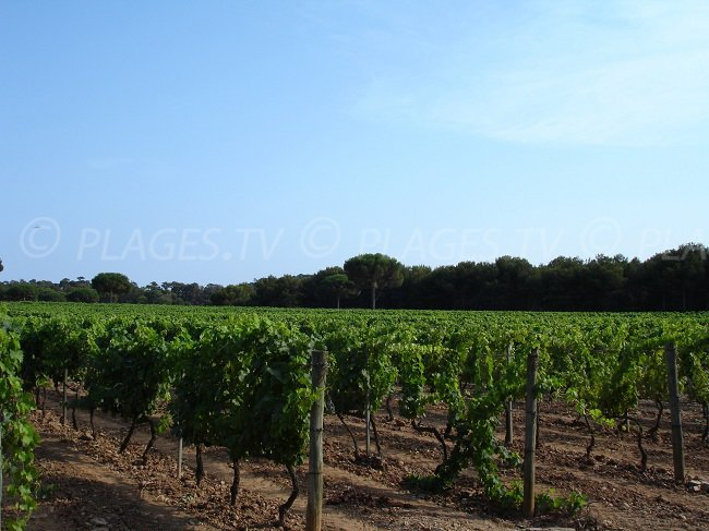Vineyards in Porquerolles