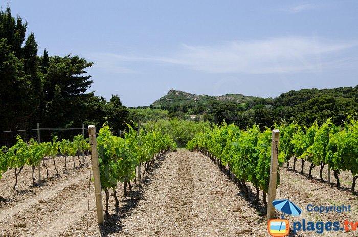 Vineyards on Embiez island - France