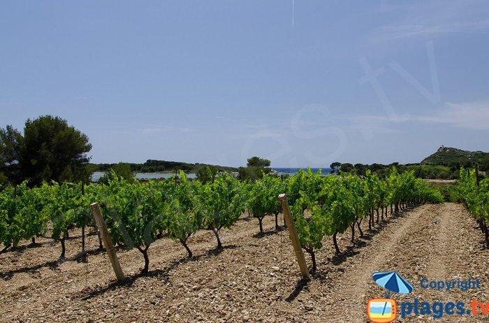 Des vignes sur l'ile des Embiez